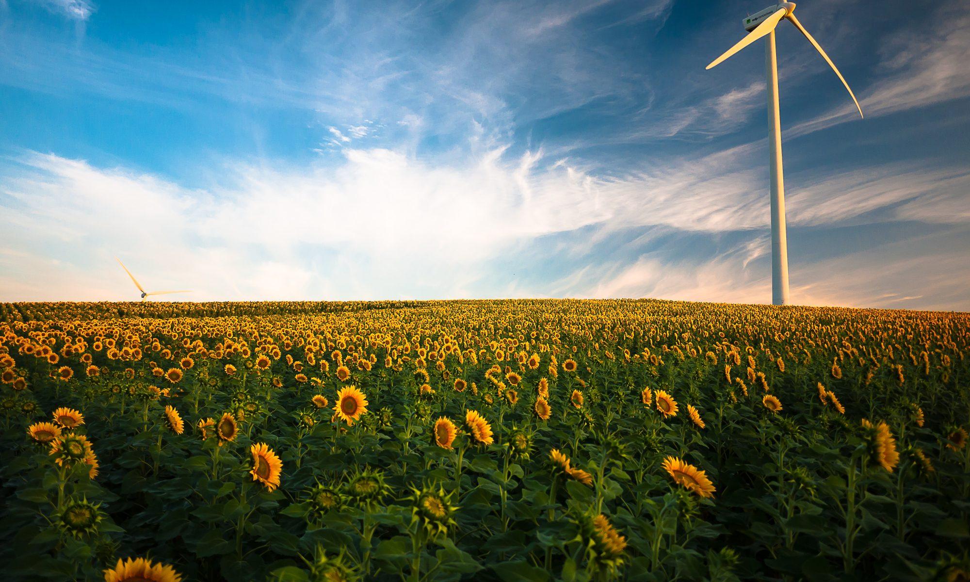 Ein Windrand an einem Sonnenblumenfeld. Quelle: unsplash