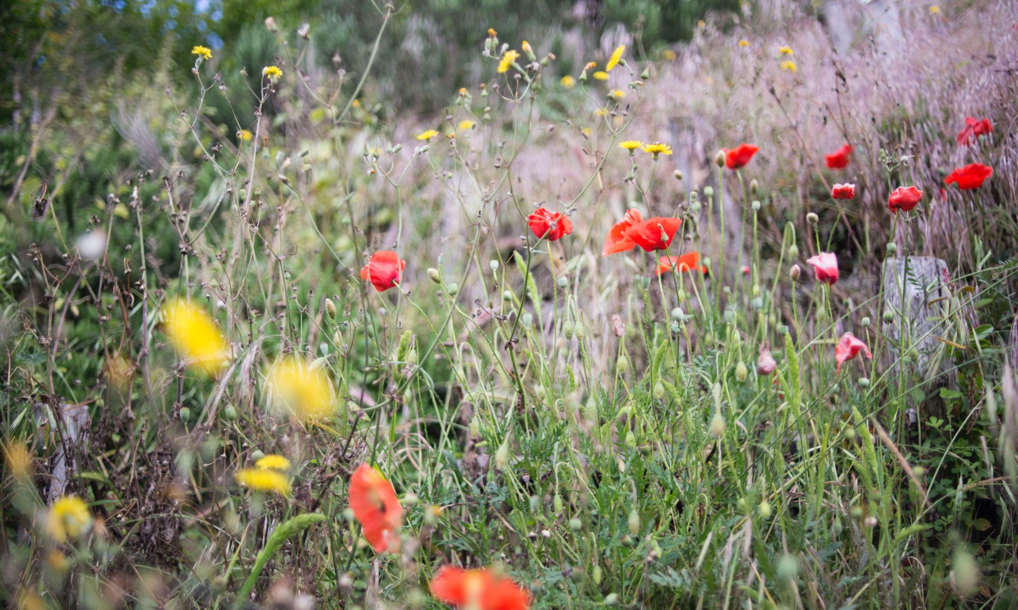 Eine Wildblumenwiese ist ein Paradies für Insekten und damit wichtig für Artenvielfalt. Wir müssen das Insektensterben stoppen.