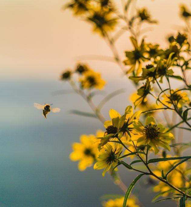 Eine Biene im Abendlicht im Anflug auf eine Blume. Vor allem Bienen sind vom Insektensterben betroffen.