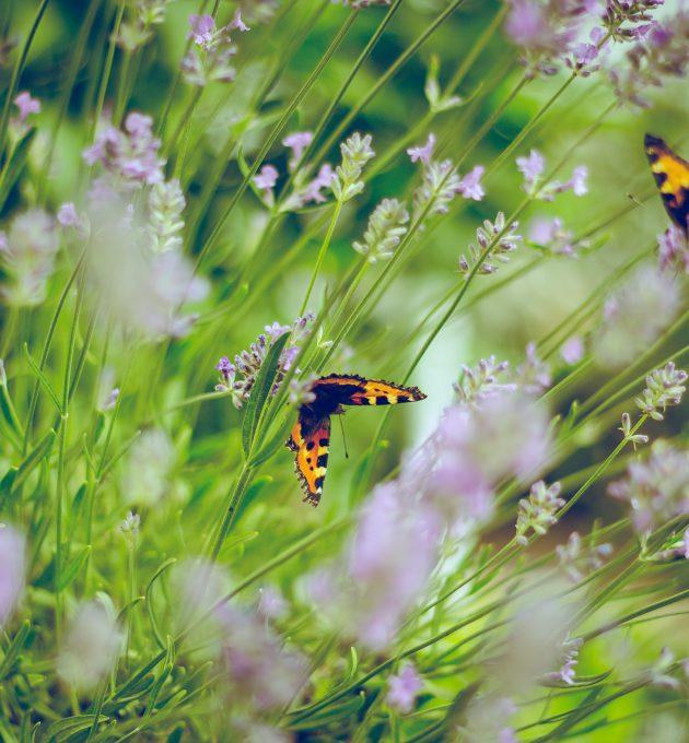 Ein Schmetterling auf einer Lavendelblüte in Zorge, Deutschland. Immer weniger Schmetterlinge gibt es inzwischen. Das Insektensterben in Deutschland ist real.
